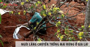 Khám Phá Ngôi Làng Chuyên Trồng Mai Rừng Ở Gia Lai