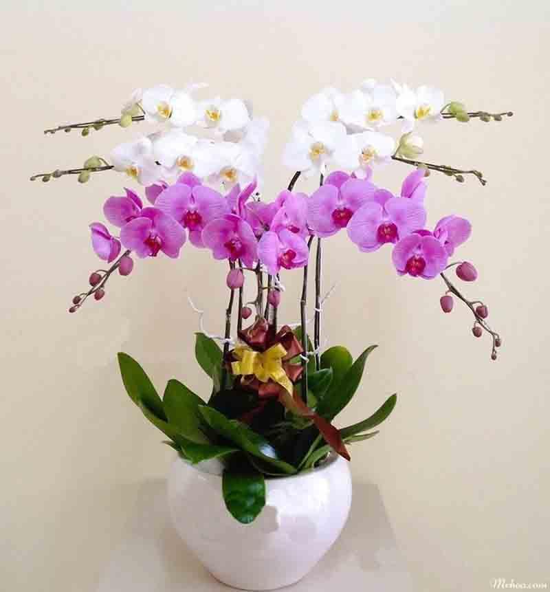 Tặng hoa lan ngày khai trương tượng trưng cho sự thành công, may mắn và thịnh vượng