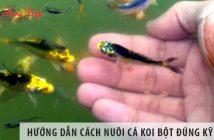 Hướng dẫn chi tiết cách nuôi cá koi bột đúng kỹ thuật